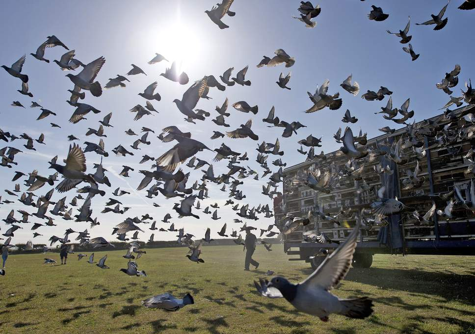 web racing pigeons getty